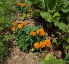 Master Companion Planting To Protect Veg Crops