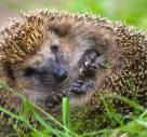 Beware Of Hedgehogs When Using Your Garden Strimmer!